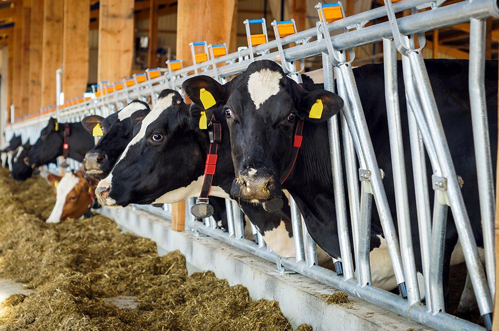Kühe-bei-der-Fütterung